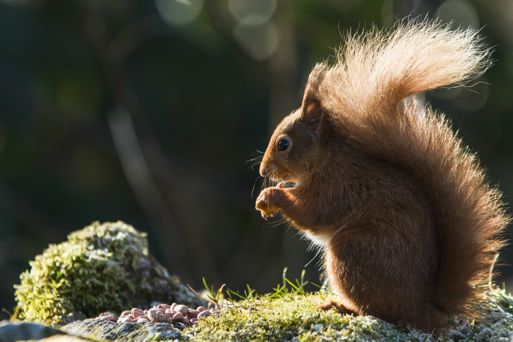 Red Squirrel mjgholland photography